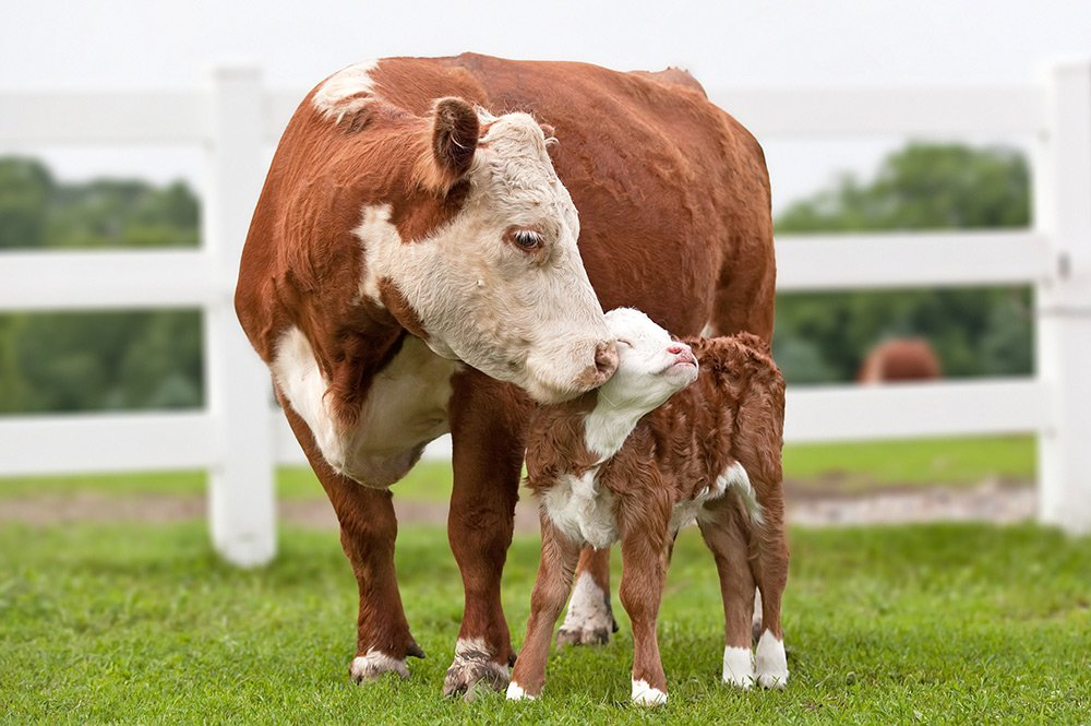 1000-hereford-cow-with-calf