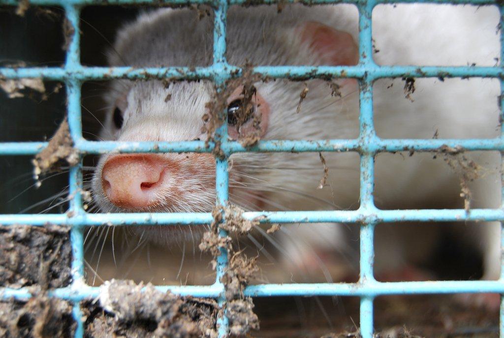 mink med øyebetennelse i skittent bur